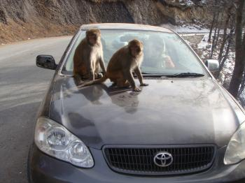 Monkeys on car