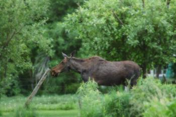 Moose and Fencepost