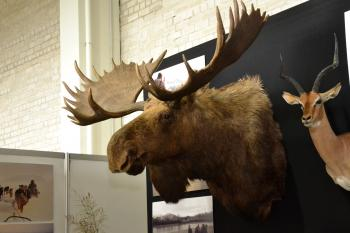 Moose trophy head