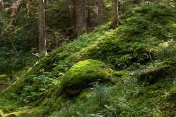 Moss-covered boulder on a slope in Gullmarsskogen ravine