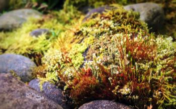 Moss with sporophytes and cup lichens among rocks