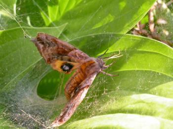 Moth stuck in spiderweb