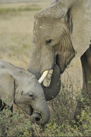 Mother Elephant with Cub