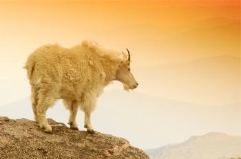 Mountain Goat on a Mountain Edge