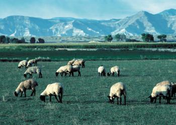 Mountain Sheeps