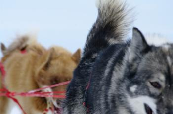 Moutain ride with huskies