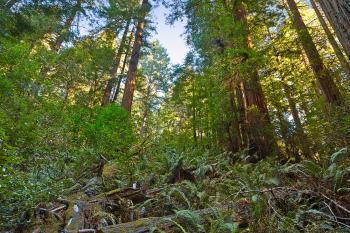Muir Woods Scenery - HDR