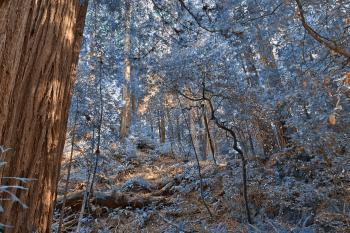 Muir Woods Scenery - Winter Blue HDR