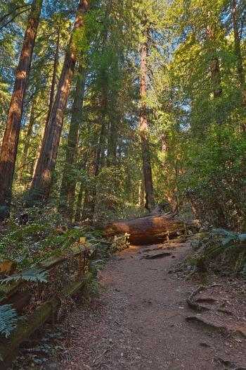 Muir Woods Trail - HDR