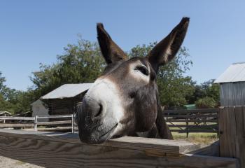 Mule Closeup