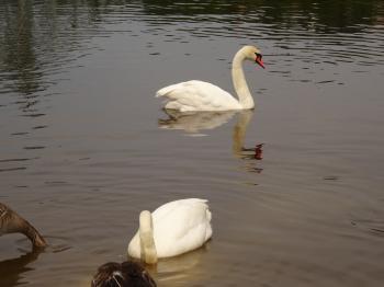 My swan friend from Blue Wonder