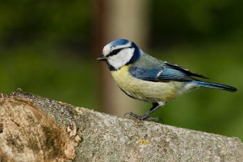 Nun-bird (Cyanistes caeruleus)