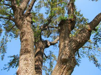 Oak Tree Closeup