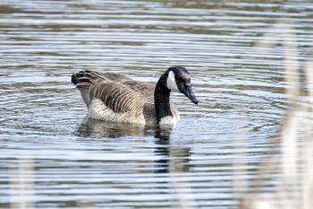 Oiseau (Bernache Du Canada) 350