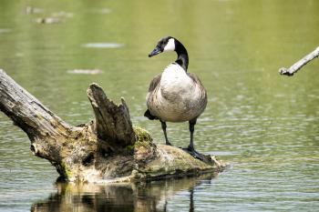 Oiseau (Bernache Du Canada) 364