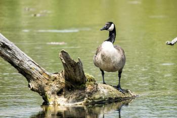 Oiseau (Bernache Du Canada) 365