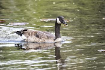 Oiseau (Bernache Du Canada) 371