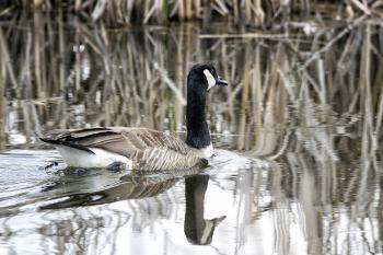 Oiseau (Bernache Du Canada) 375