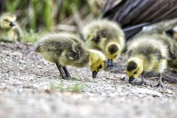 Oiseau (Bernache Du Canada) 381