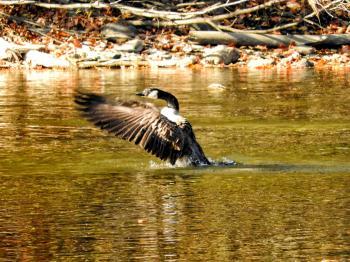 Oiseau (Bernache Du Canada) 445