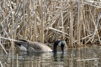 Oiseau (Bernache Du Canada) 455