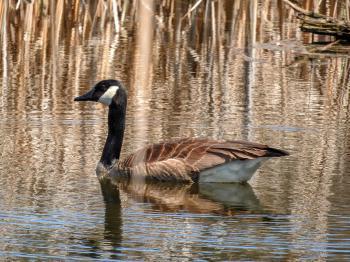 Oiseau (Bernache Du Canada) 463