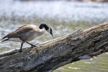 Oiseau (Bernache Du Canada) 471
