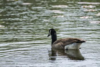 Oiseau (Bernache Du Canada) 484