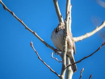 Oiseau (Bruant Chanteur) 152