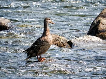Oiseau (Canard Colvert) 749