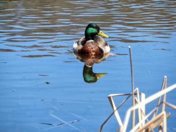 Oiseau (Canard Colvert) 765