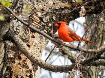 Oiseau (Cardinal Rouge) 123