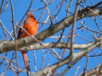 Oiseau (Cardinal Rouge) 165