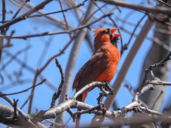 Oiseau (Cardinal Rouge) 221