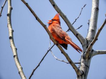 Oiseau (Cardinal Rouge) 256
