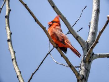 Oiseau (Cardinal Rouge) 257