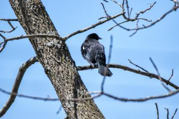 Oiseau (Carouge À Épaulettes) 615