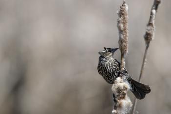 Oiseau (Carouge À Épaulettes) 627