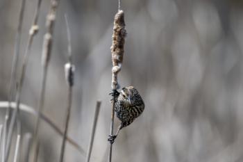 Oiseau (Carouge À Épaulettes) 666