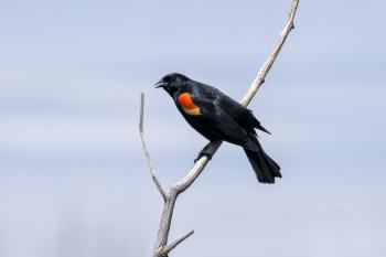 Oiseau (Carouge À Épaulettes) 667