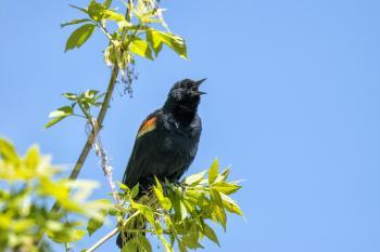 Oiseau (Carouge À Épaulettes) 700