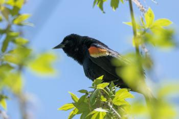 Oiseau (Carouge À Épaulettes) 702