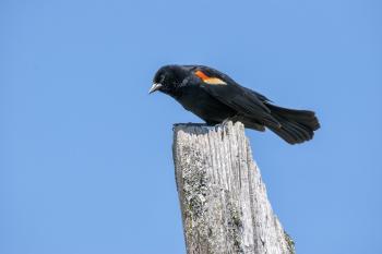 Oiseau (Carouge À Épaulettes) 714