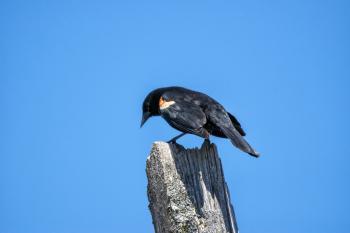 Oiseau (Carouge À Épaulettes) 735