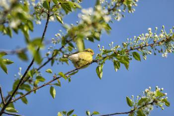 Oiseau (Chardonneret Jaune) 218
