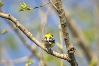 Oiseau (Chardonneret Jaune) 221