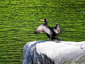 Oiseau (Cormoran À Aigrettes) 054