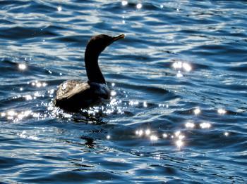 Oiseau (Cormoran À Aigrettes) 077