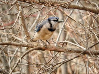 Oiseau (Geai Bleu) 124