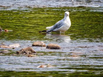 Oiseau (Goéland À Bec Cerclé) 046